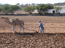 Arab man ploughing his acre, Morocco Royalty Free Stock Image