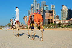 Arab man sitting on a camel on the beach in Dubai Royalty Free Stock Photography