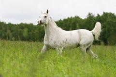 Arab mare. Arab stallion trotting on field Stock Photography