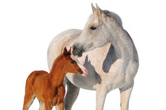 Arab mare and foal isolated Royalty Free Stock Photography