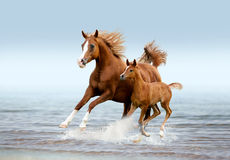 Arab mare with foal running trough the splashes of water Royalty Free Stock Photography