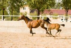 Arab mare and pony Stock Photos