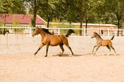 Arab mare and pony Royalty Free Stock Photography