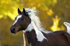 Arab Paint Gelding. Galloping in field of autumn colors, closeup Royalty Free Stock Photos