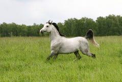 Arab stallion. Trotting on field Stock Image