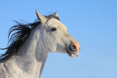 Arab stallion Royalty Free Stock Photos