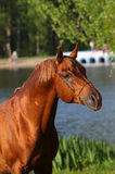 Arab stallion Royalty Free Stock Photo