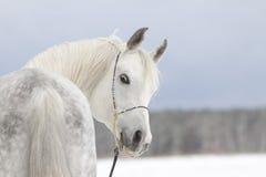 Arab stallion Royalty Free Stock Photo