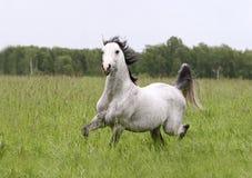 Arab stallion. On summer field Royalty Free Stock Image