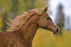 Arab Stallion galloping Royalty Free Stock Images