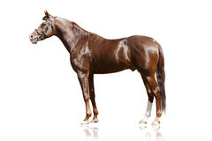 Arab stallion isolated stock photography