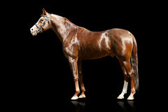 Arab stallion isolated. On black Royalty Free Stock Image
