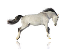 Arab stallion isolated. Over white Stock Image