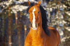 Arab stallion in winter Royalty Free Stock Image