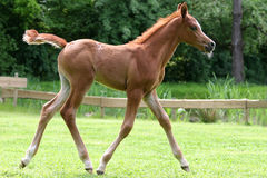 Arab thoroughbred foal Royalty Free Stock Images