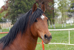 Arab thoroughbred horse. In a herd of romania Royalty Free Stock Photos