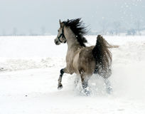Arab thoroughbred horse. Running in the snow Royalty Free Stock Photo