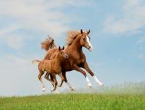 Araber geben Pferd frei Stockfotos