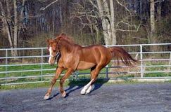 Araber-/Saddlebredmischungspferd Lizenzfreie Stockbilder
