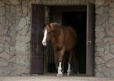 Araberpferd, das aus Stall herauskommt stockbilder