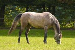 Araberpferd, das an einem sonnigen Tag weiden lässt Lizenzfreies Stockfoto