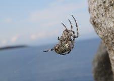 Arabesken-Kugel-Weber-Spinne Neoscona-arabesca spinnendes Netz Stockfoto
