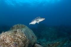 arabesque som greenling det undervattens- japan havet Royaltyfri Bild