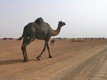 arabia kamelsaudier Arkivbilder