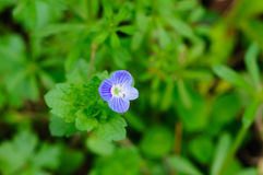 Arabia speedwell royalty free stock photos