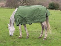 Arabian. A grazing grey arabian horse wearing a green field rug Royalty Free Stock Photo