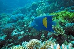 Free Arabian Angelfish Stock Photo - 11454360
