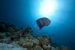 Free Arabian Angelfish And Ocean Royalty Free Stock Photography - 12597637