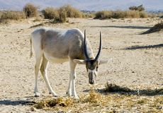 Arabian antelope in Hai-bar nature reserve, Israel Royalty Free Stock Images