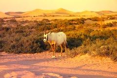 Arabian antelope or Oryx in the Desert Conservation Reserve near Dubai, UAE. Oryx or Arabian antelope in the Desert Conservation Reserve near Dubai, UAE. Summer Royalty Free Stock Images