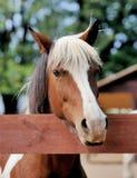 Arabian bay horse Royalty Free Stock Image