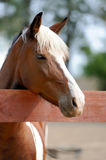Arabian bay horse Stock Image