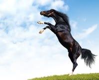 Arabian black stallion. Black stallion rear in a floor Stock Photography