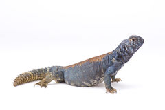 Arabian blue mastigure (Uromastyx ornata philbyi) Royalty Free Stock Photo