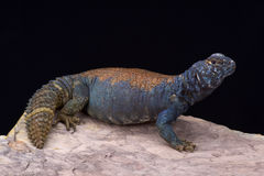 Arabian blue mastigure (Uromastyx ornata philbyi) Royalty Free Stock Photography