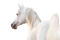 Arabian branco Fotografia de Stock