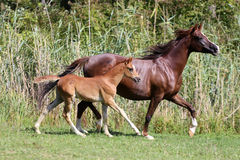 Arabian breed foal and mare galloping  in a meadow Royalty Free Stock Photo