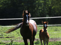 Arabian breed foal and mare galloping  in a meadow Stock Images