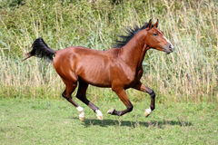 Arabian breed horse galloping across a green summer pasture Stock Photography