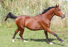 Arabian breed horse galloping across a green summer pasture Royalty Free Stock Image