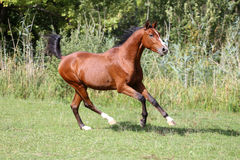 Arabian breed horse galloping on pasture against green reed Stock Image