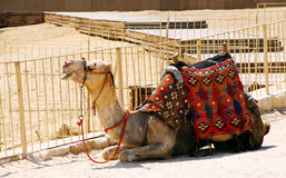 Arabian Camel Royalty Free Stock Images
