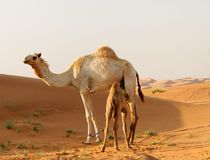 Arabian camel and calf Royalty Free Stock Photo