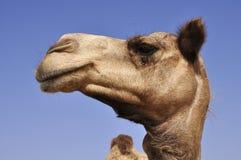 Arabian camel (Camelus dromedarius) Stock Photo