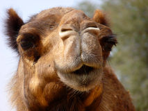 Arabian Camel Close-Up. Close Up of an Arabian Camel from front side Royalty Free Stock Photos