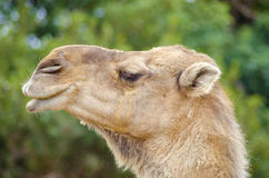 Arabian camel. A close up profile view of an arabian camel also known as Camelus dromedarius. The dromedary is a large, even-toed ungulate with one hump on its Royalty Free Stock Photo